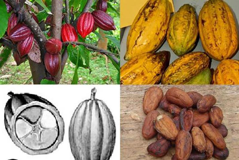 Theobromine cacao (fruit)